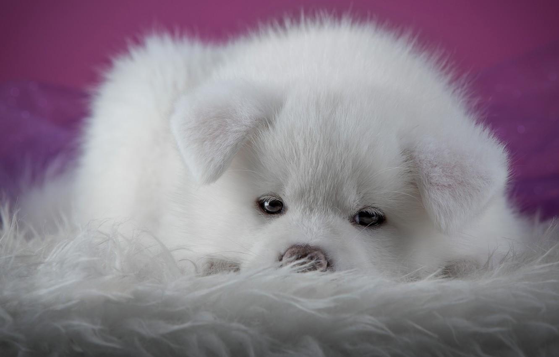 Photo wallpaper white, look, close-up, background, pink, dog, puppy, lies, fur, spout, face, photoshoot, Akita inu, Akita