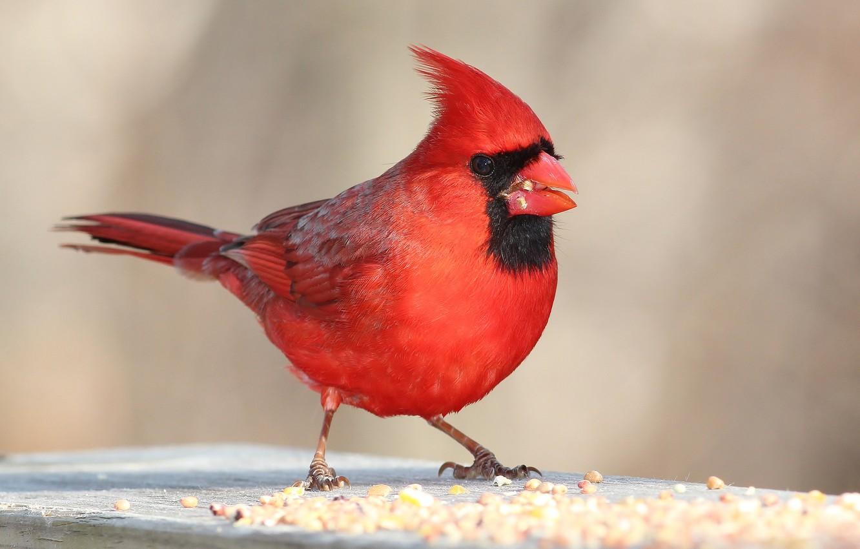 Wallpaper bird, color, feathers, beak, cardinal images for