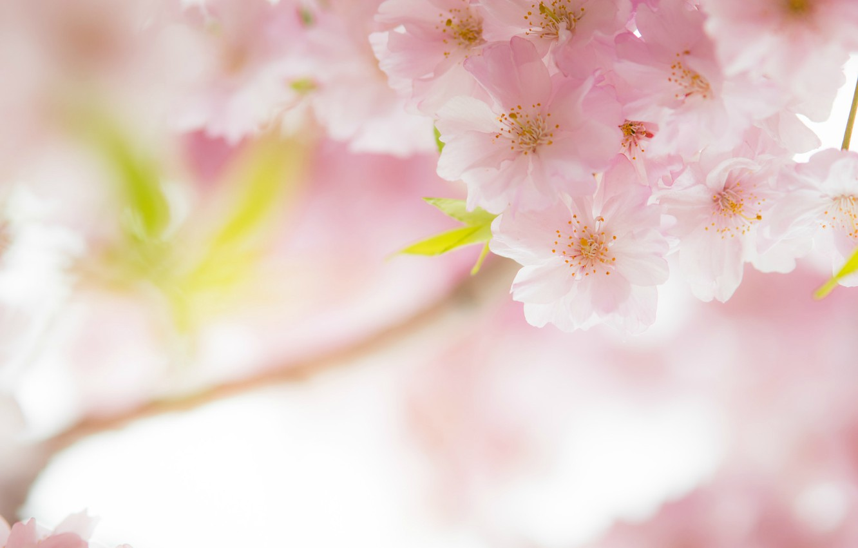 Photo wallpaper macro, cherry, pink, tenderness, spring, Sakura