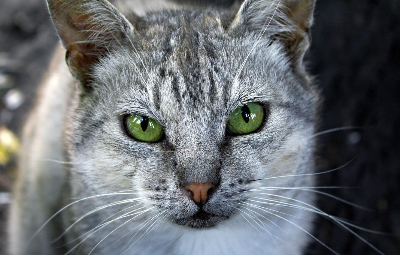 Photo wallpaper cat, eyes, green, grey