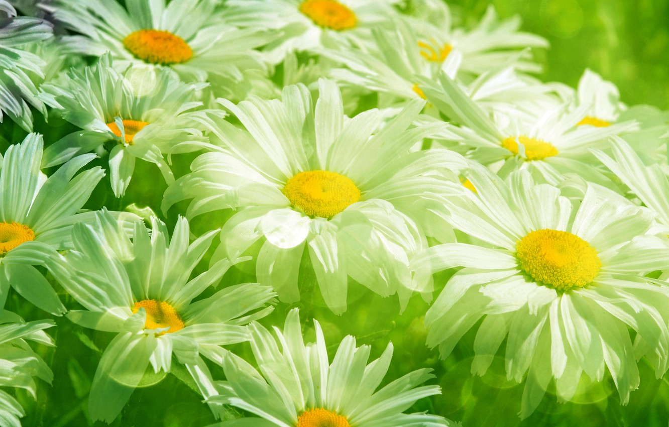 Photo wallpaper grass, leaves, flowers, freshness, green, chamomile, beauty, spring, blur, meadow, transparent, white, grass, white, flowers, …