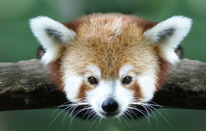 Photo wallpaper animals, branch, red Panda