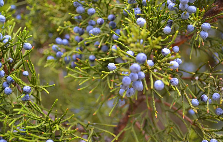 Photo wallpaper greens, berries, plant, Bush, juniper