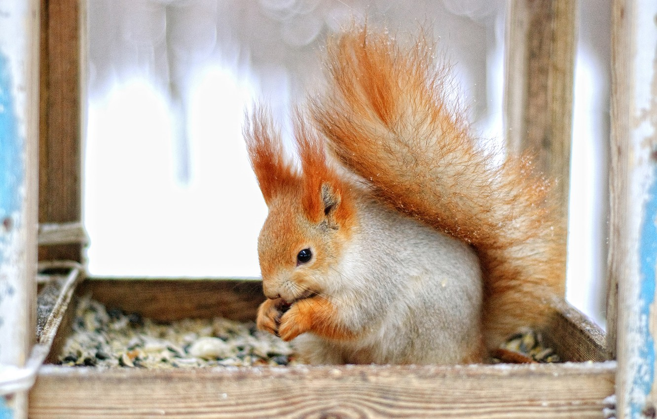 Photo wallpaper sweetheart, fluffy, protein, tail, animal, red, funny, nibbles, rodent, pet, in a cage