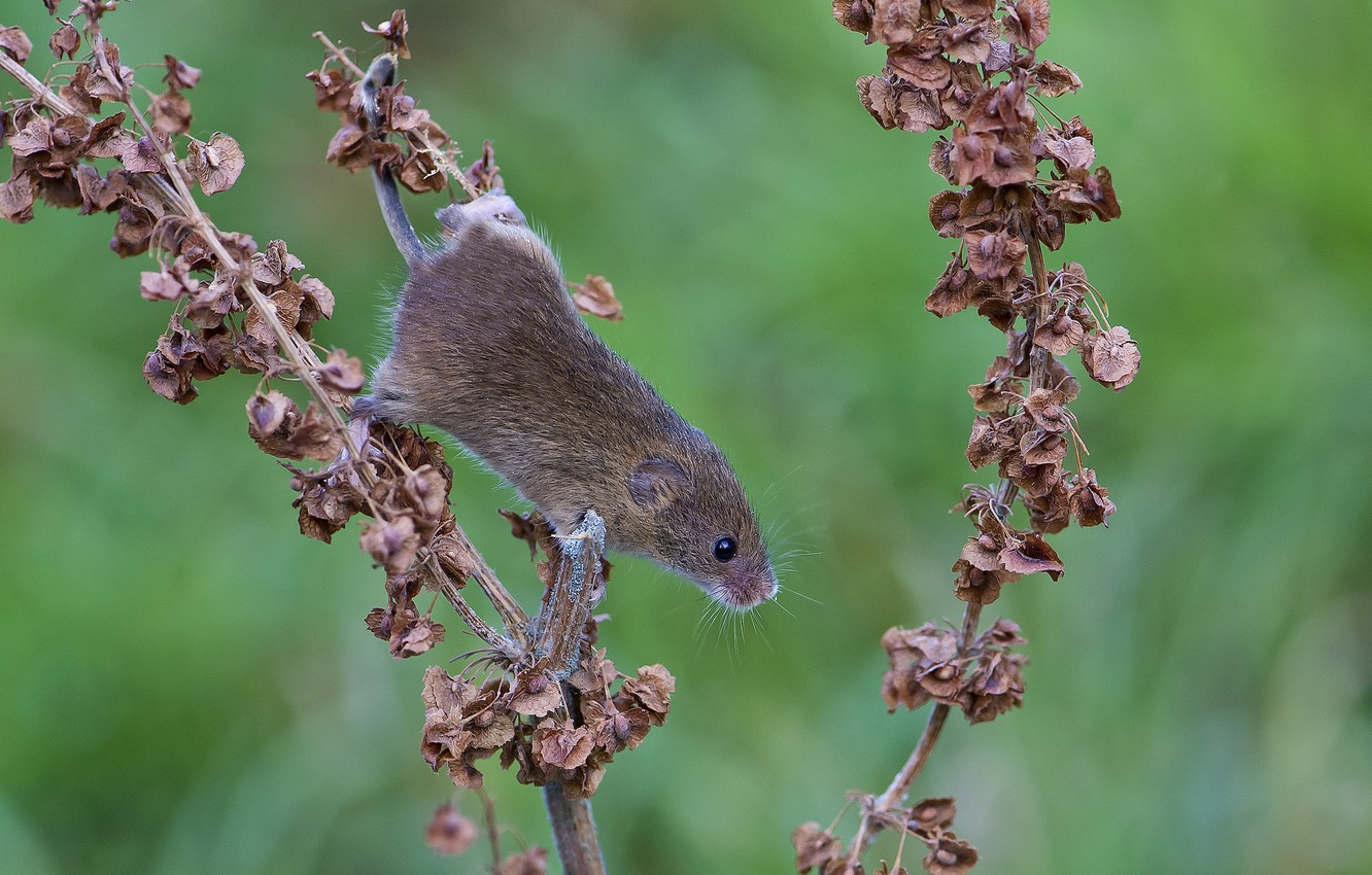 Photo wallpaper leaves, branch, mouse, dry, red, vole