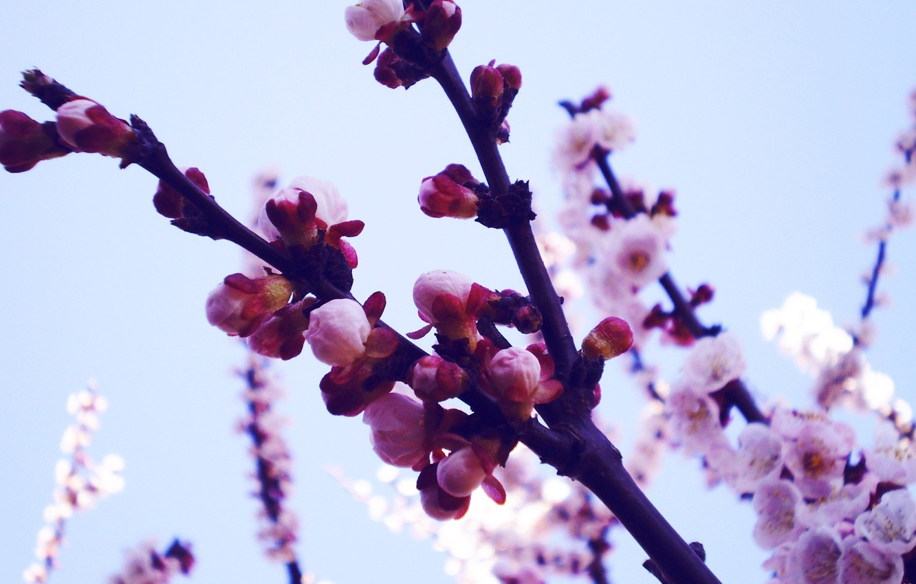 Photo wallpaper macro, flowers, branches, nature, photo, background, Wallpaper, plants, spring, petals, Sakura, buds