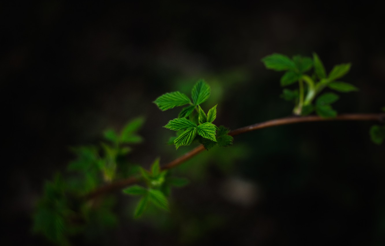 Photo wallpaper leaves, macro, the dark background, branch