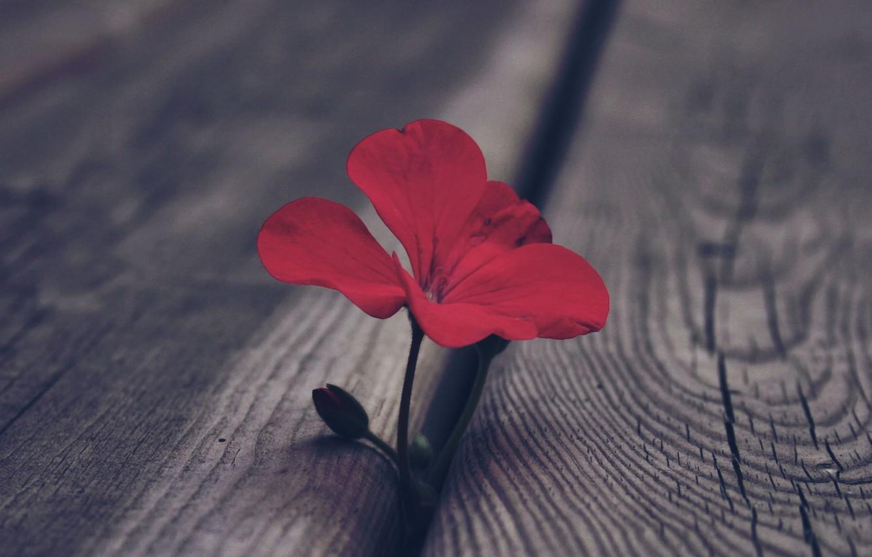 Photo wallpaper flower, macro, red, Board, Bud, geranium