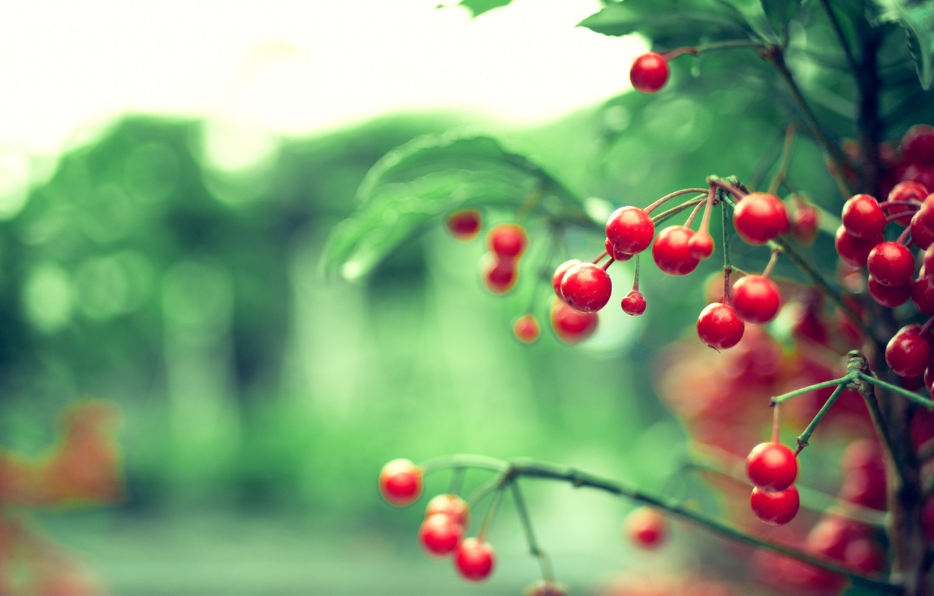 Photo wallpaper leaves, color, nature, glare, berries, background, Wallpaper, branch, blur, red, branch, bokeh