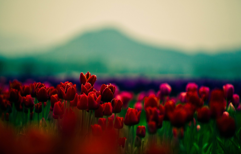 Wallpaper Beauty Focus Petals Tulips Red Flowers Widescreen