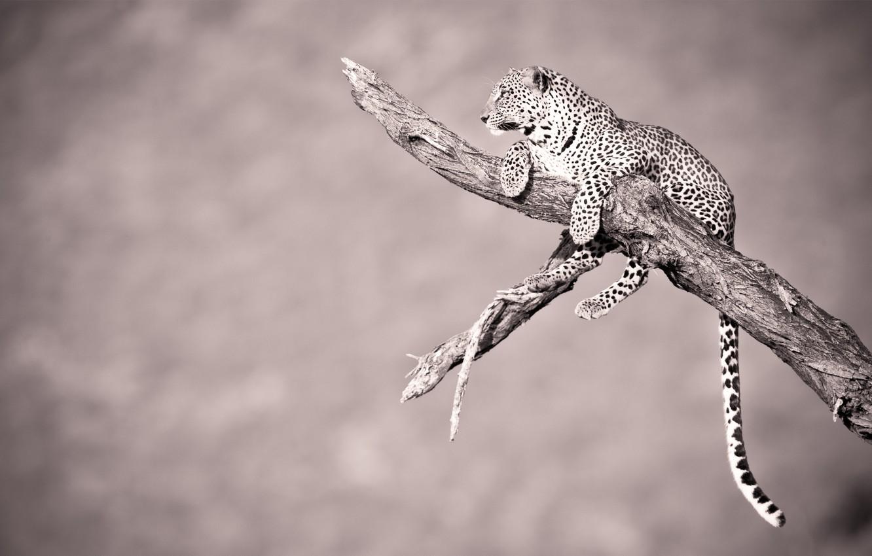 Photo wallpaper animals, tree, leopard, tail