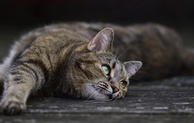 Photo wallpaper cat, cat, pose