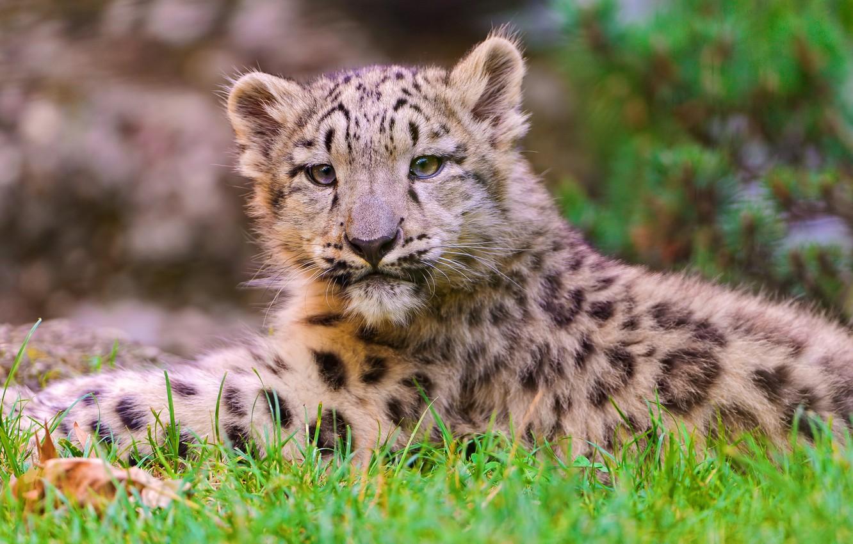 Photo wallpaper face, lies, IRBIS, snow leopard, snow leopard, kitty, looks