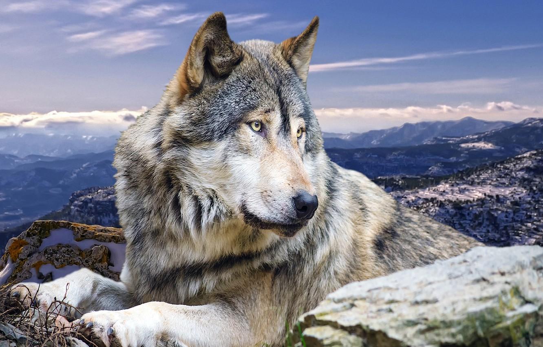 Photo wallpaper animals, mountains, nature, wolf, predator