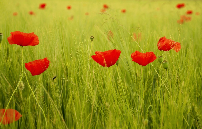 Photo wallpaper greens, field, grass, leaves, flowers, red, background, widescreen, Wallpaper, Mac, Maki, wallpaper, flowers, widescreen, background, …