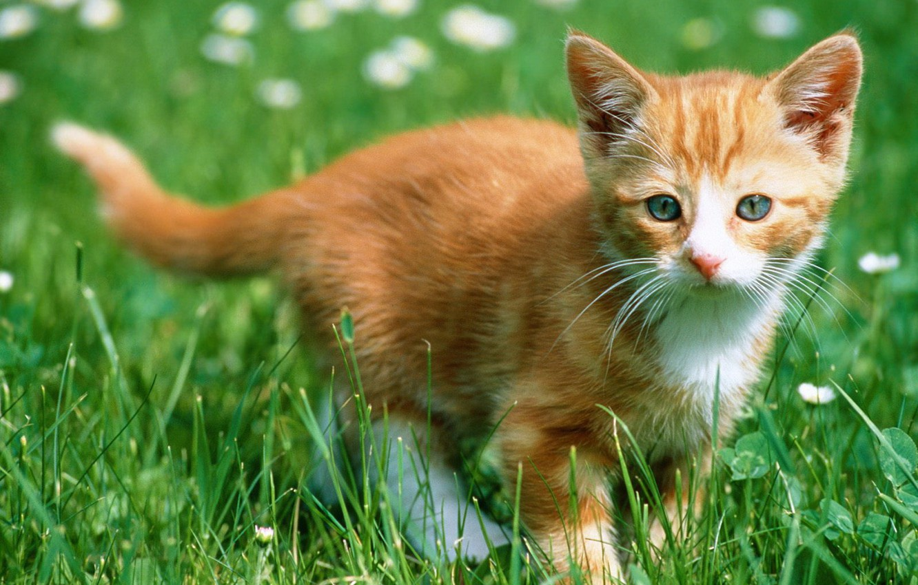 Photo wallpaper kitty, Grass, red
