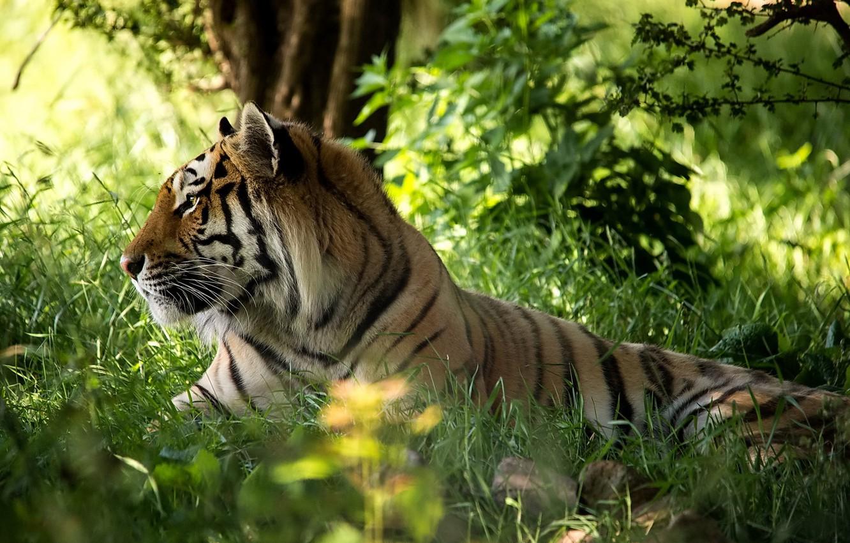Photo wallpaper forest, grass, face, tiger, predator