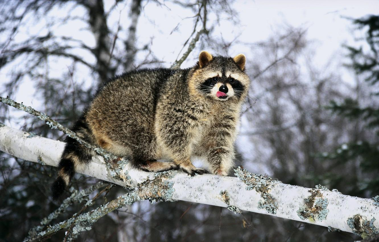 Photo wallpaper winter, language, tree, branch, raccoon, fur