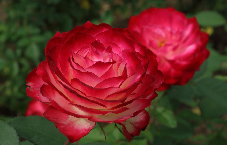 Photo wallpaper rose, petals, bokeh