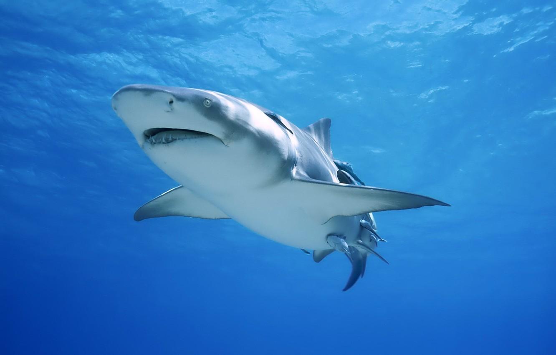 Photo wallpaper shark, large, white
