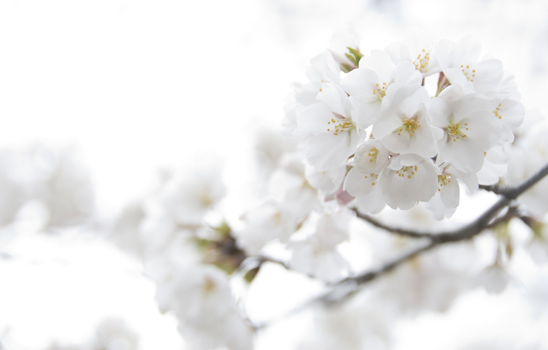 Photo wallpaper macro, light, flowers, cherry, tenderness, color, branch, spring, petals, Sakura, white, flowering