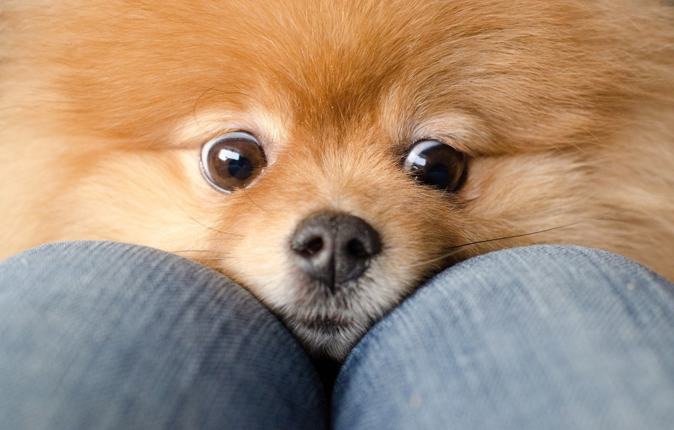 Photo wallpaper eyes, dog, jeans, red, knees, Spitz