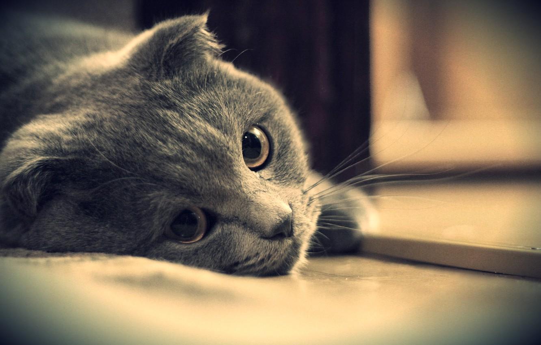 Photo wallpaper eyes, cat, look, grey, British, Kote, British