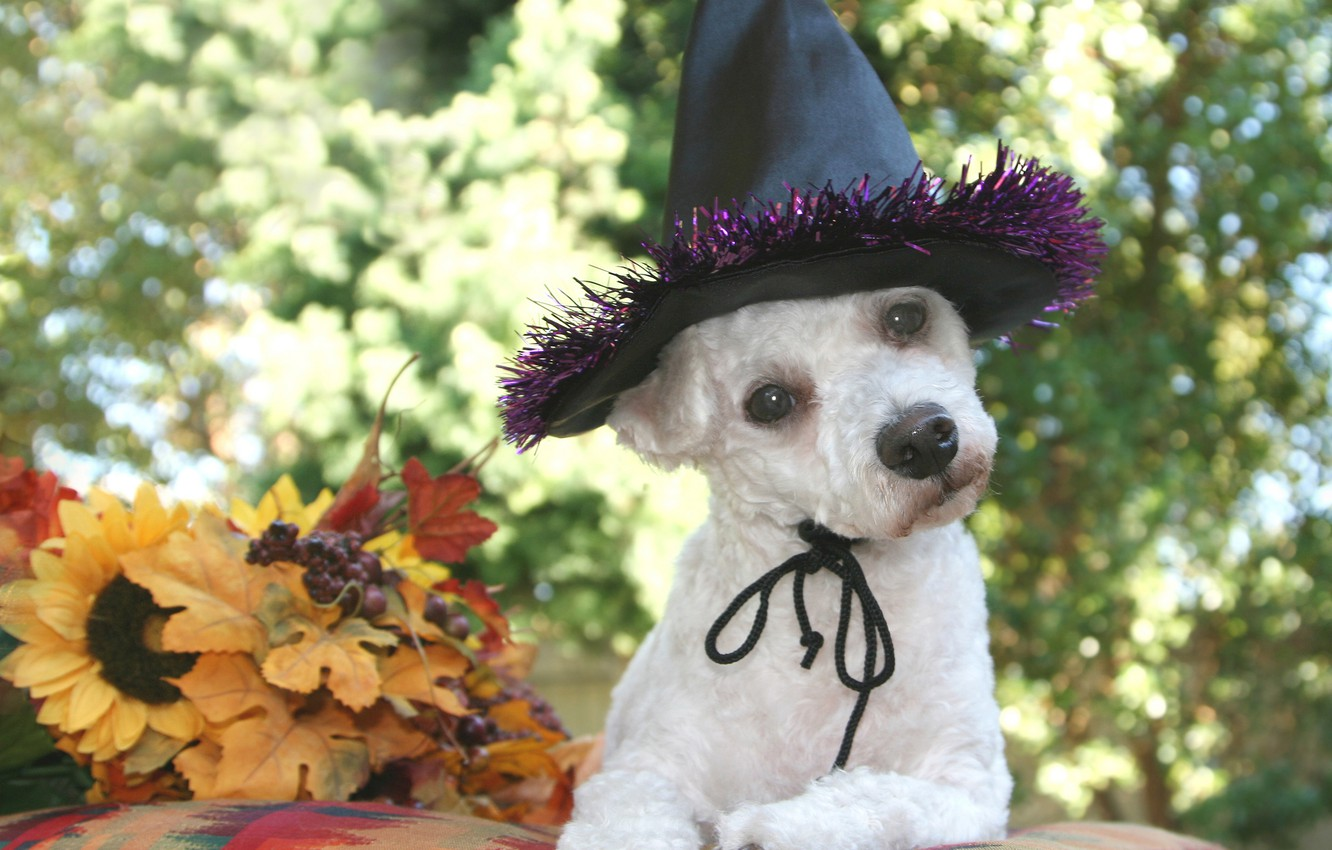 Photo wallpaper autumn, leaves, dog, hat, black, white, Halloween, dog, bokeh, Wallpaper from lolita777