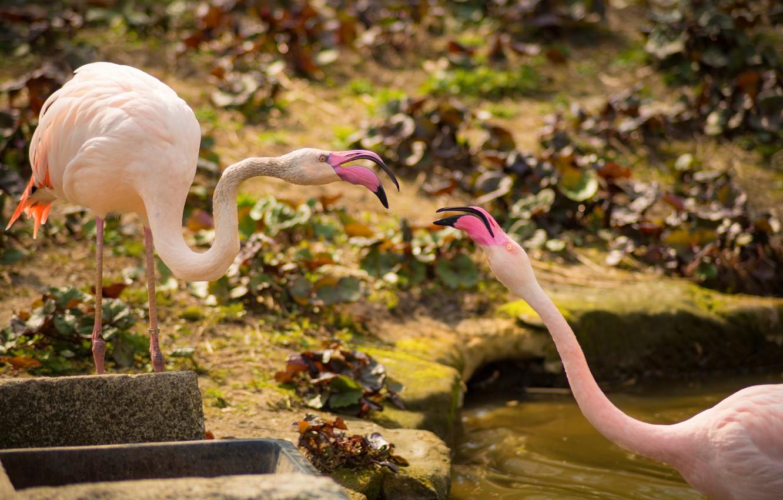 Photo wallpaper birds, a couple, Flamingo, pink flamingos