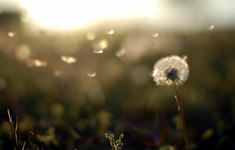 Photo wallpaper field, sunset, nature, background, dandelion, Wallpaper, ease, plants, the evening, fuzzes, wallpapers