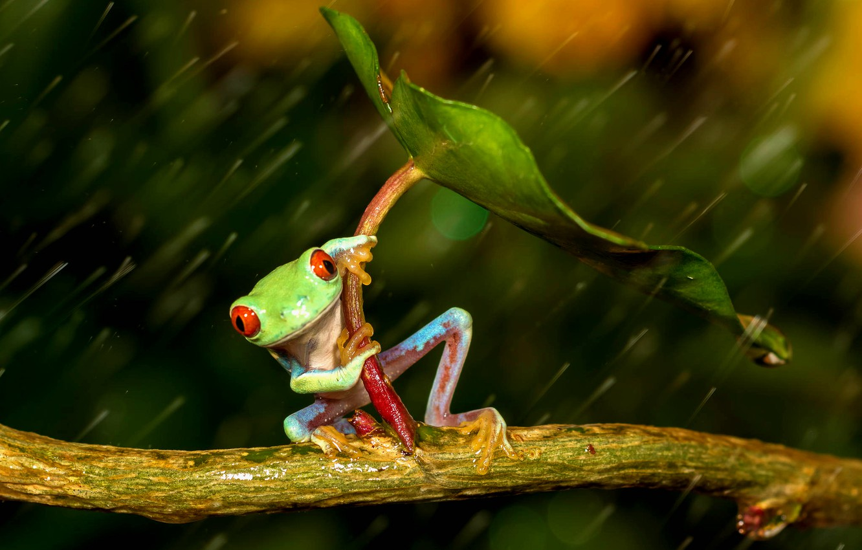 Photo wallpaper sheet, rain, frog, legs, umbrella, green, rain, colorful, umbrella, frog, red eyes, beauty, orange, orange …