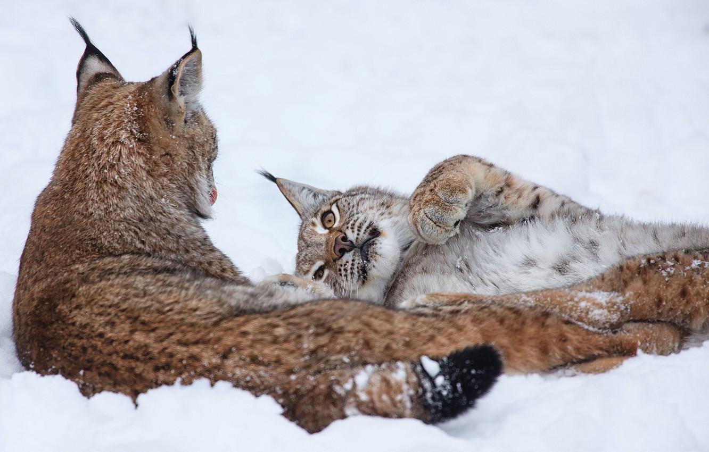 Photo wallpaper winter, snow, lynx, a couple
