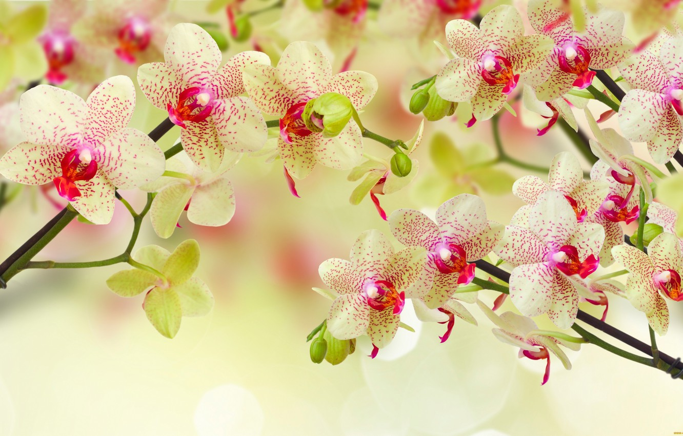 Photo wallpaper flowers, yellow, orchids