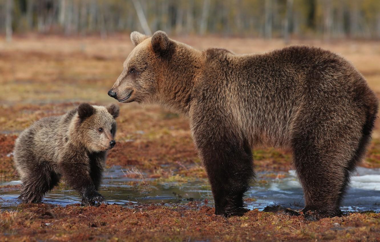 Photo wallpaper nature, background, bears