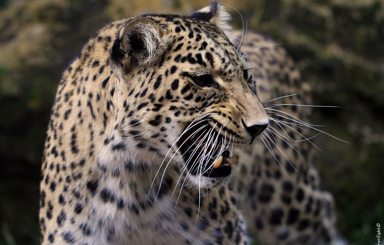 Photo wallpaper mustache, face, anger, predator, rage, mouth, leopard, fangs, grin, evil, profile, aggression, wild cat, roar, …