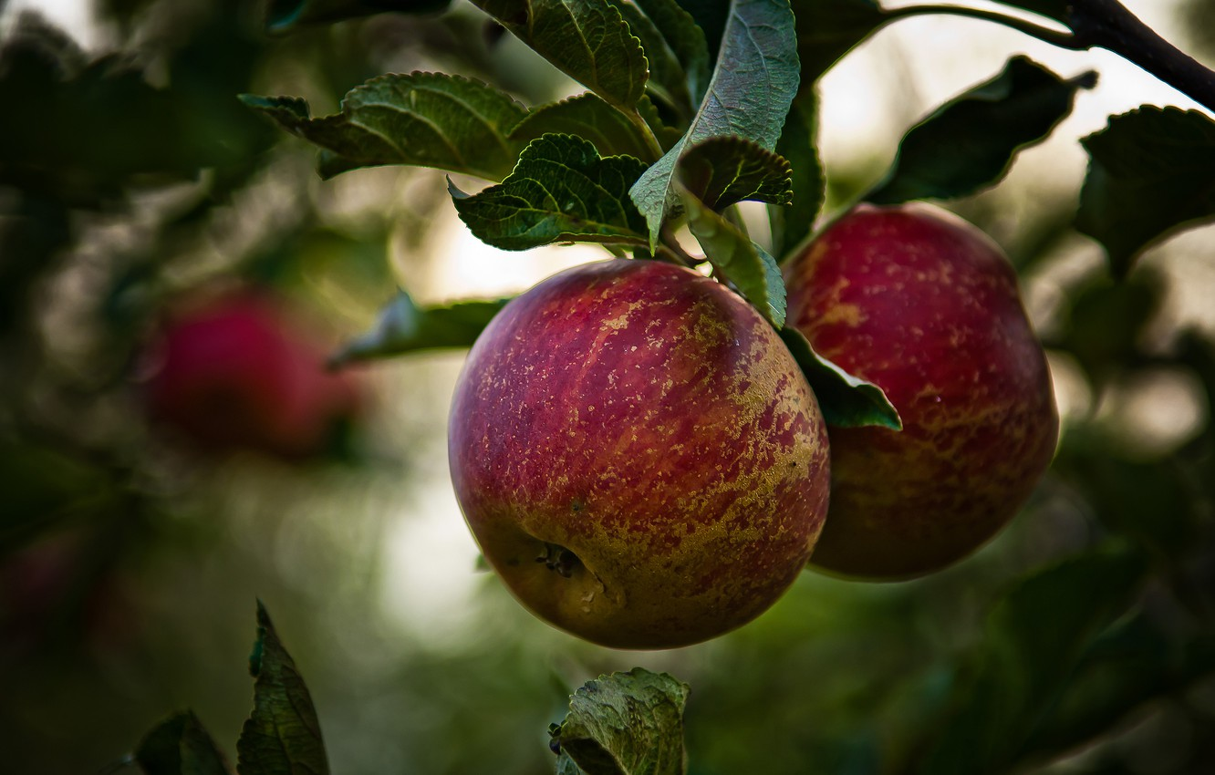 Photo wallpaper branches, tree, foliage, apples, fruit, Apple