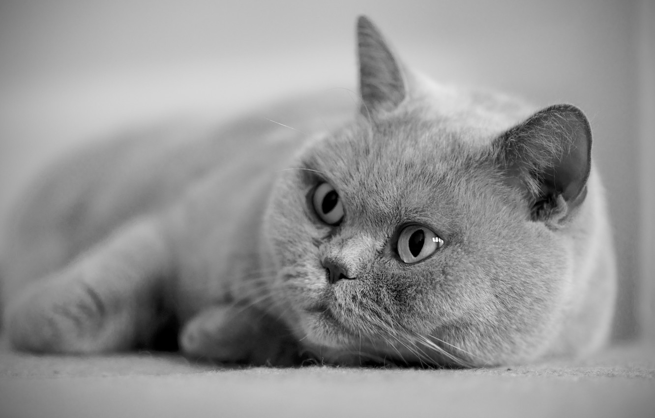 Photo wallpaper eyes, cat, grey, British