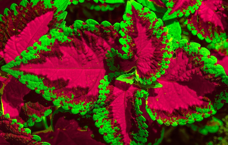Photo wallpaper flower, leaves, macro, Coleus