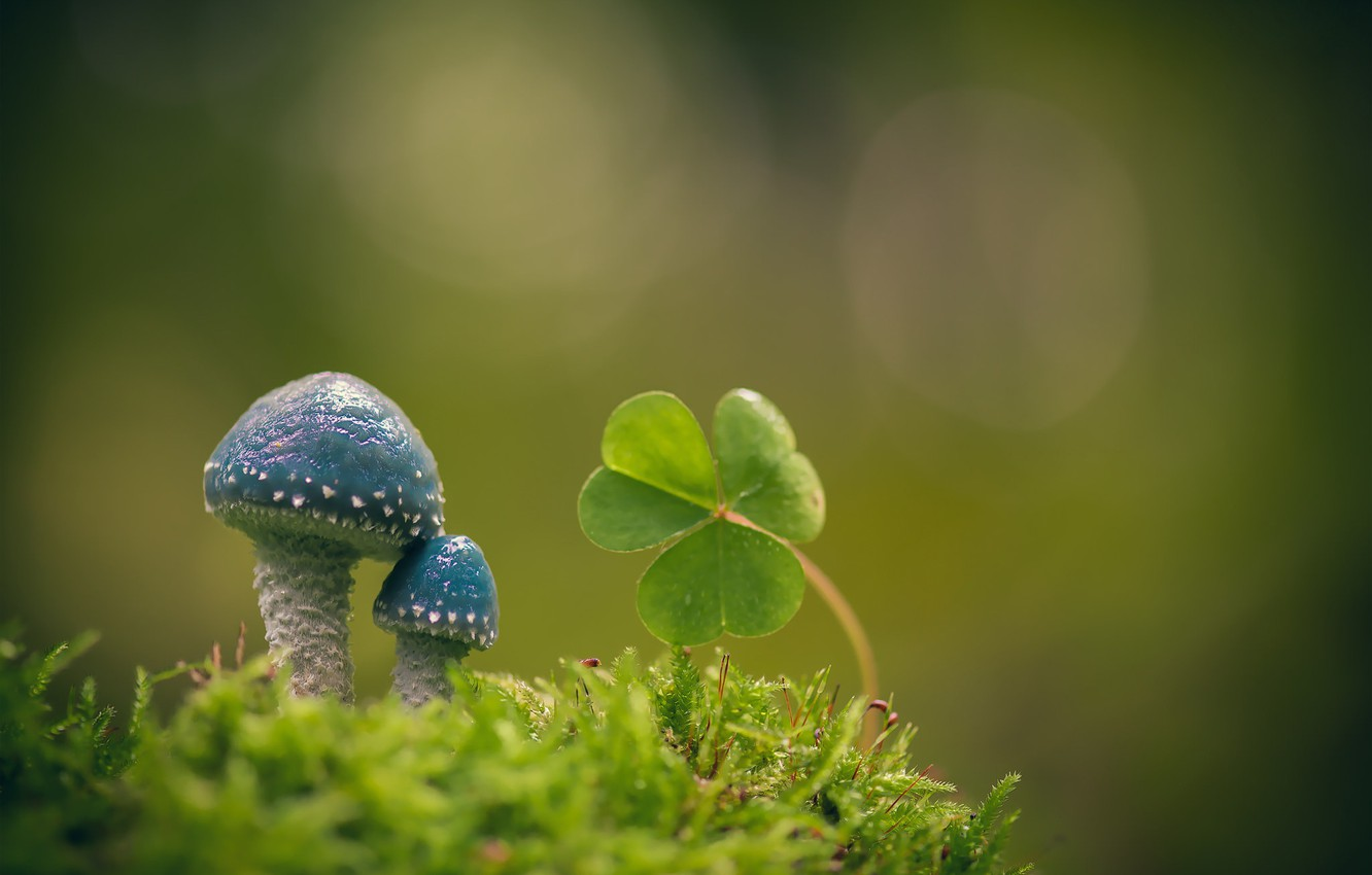 Photo wallpaper macro, background, mushrooms, moss, leaves, Oxalis, Stropharia blue-green