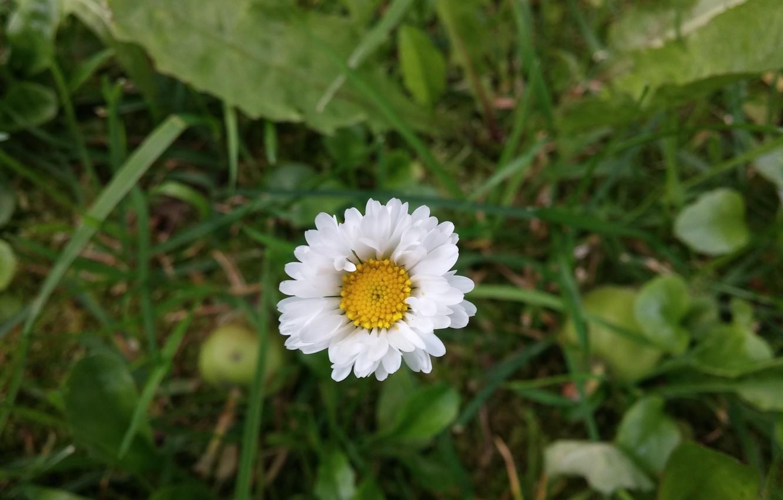 Photo wallpaper flower, macro, garden, Daisy