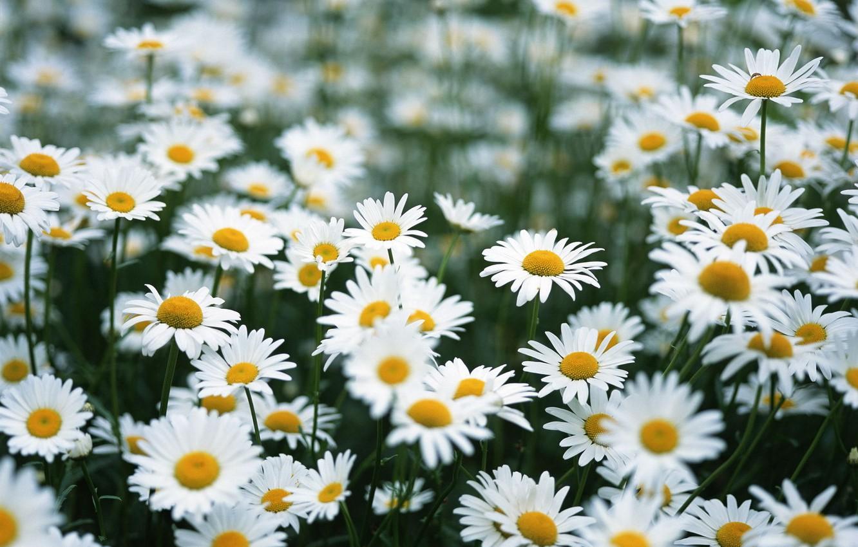 Photo wallpaper field, summer, flowers, chamomile