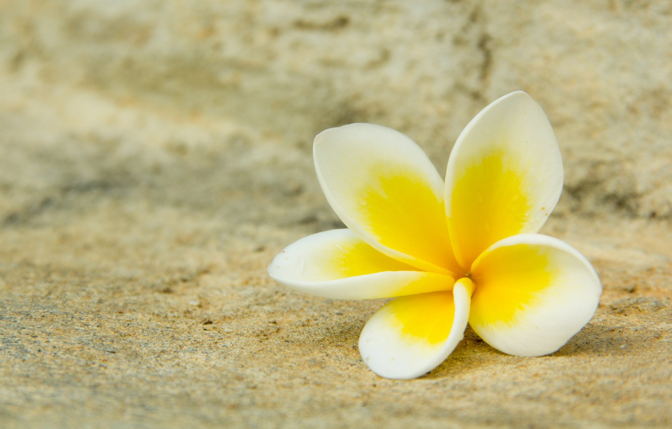 Wallpaper white, flower, macro, yellow, petals, plumeria