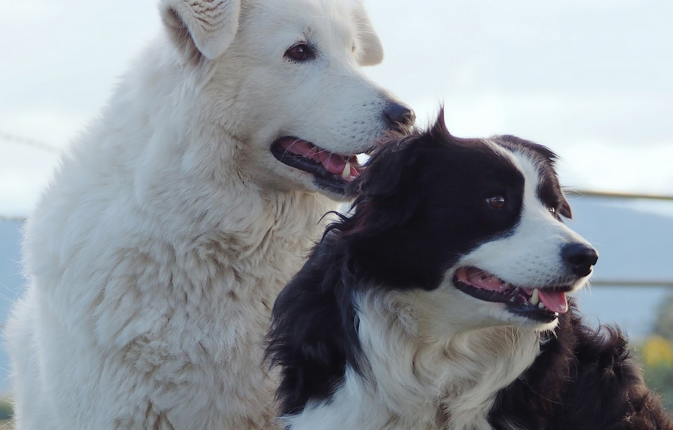 Photo wallpaper dogs, portrait, The border collie, friends and comrades