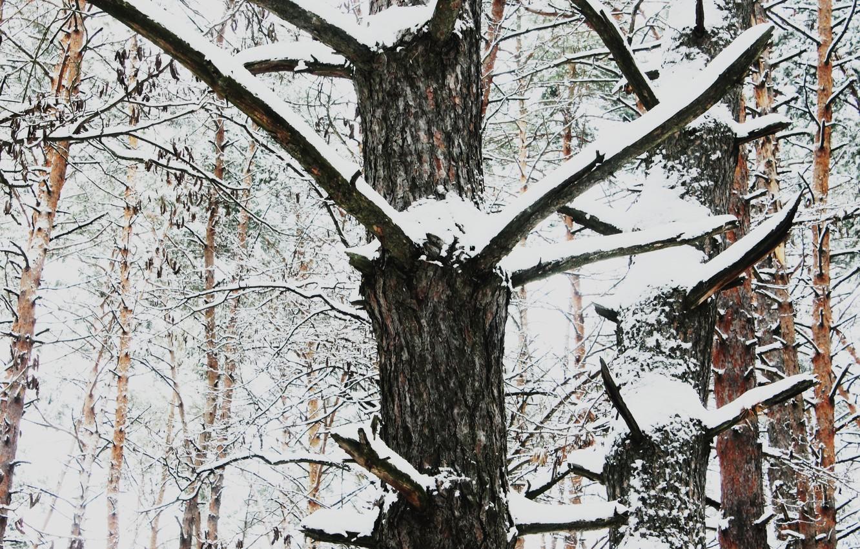Photo wallpaper snow, trees, nature