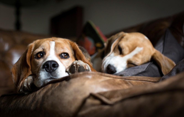 Photo wallpaper dogs, sofa, sleep, breed, lie, Beagle, hounds