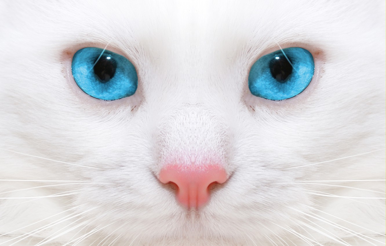 Photo wallpaper macro, kitty, kitten, close up, micro, micro, beautiful white cat, big blue eyes, big blue …