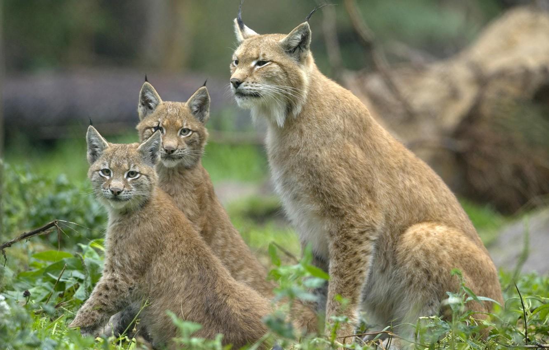 Photo wallpaper look, cats, ears, lynx, wild, three, brush, sitting, look