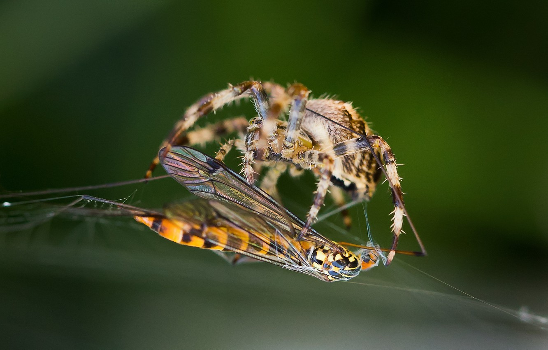 Photo wallpaper macro, OSA, web, spider, insect