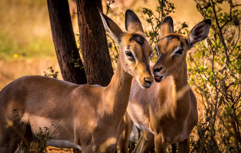 Photo wallpaper South Africa, Impala, wildlife, Animal