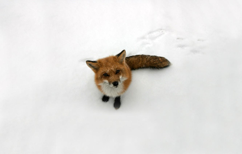 Photo wallpaper look, snow, Fox, red, Fox